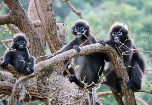 Monos en Ko Wua Talap - Tailandia