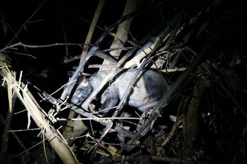 Civet Cat | Parque Nacional Khao Sok