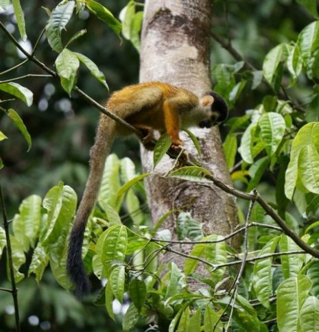 Mono ardilla en Corcovado - Costa Rica
