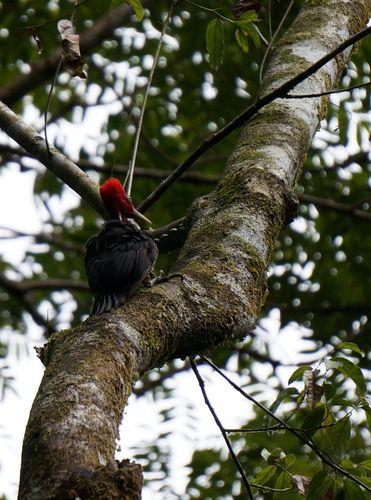 Pájaro Carpintero en Corcovado - Costa Rica