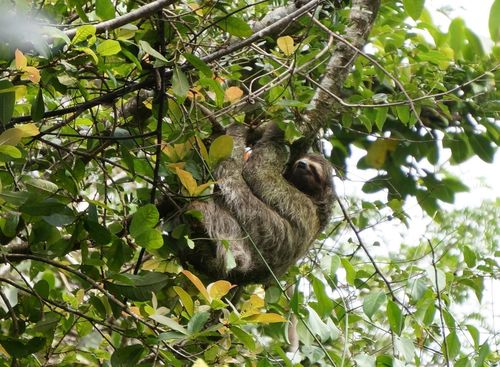 Perezoso en un árbol | Parque Nacional de Corcovado, Costa Rica