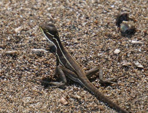Reptil en Isla del Caño - Costa Rica