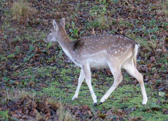Deer, hiking Amsterdam Waternet | Ciervo, senderismo Amsterdam