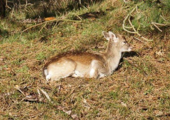 Deer, hiking Amsterdam Waternet | Ciervo al sol, senderismo Amsterdam