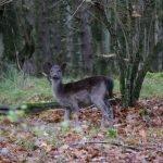 So many deers! – Amsterdamse Waterleidingduinen