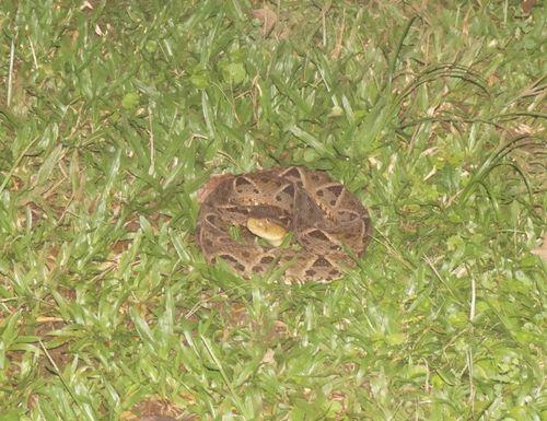 Serpiente terciopelo - Costa Rica