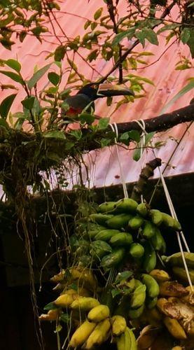 Tucancillo piquianaranjado - Costa Rica