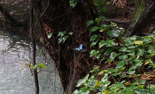 Morpho helenor, Rio Celeste - Costa Rica