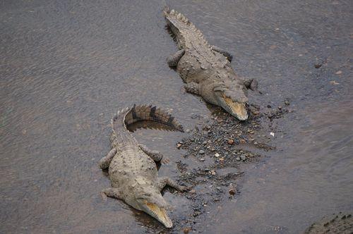 Cocodrilos río Tarcoles - Costa Rica