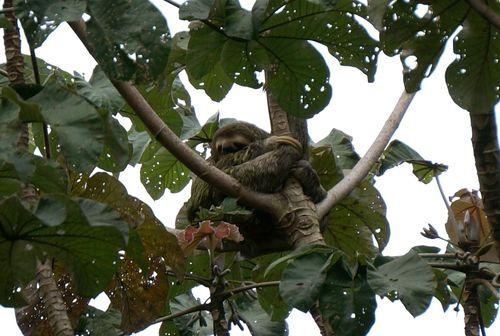Perezoso en Parque Nacional Manuel Antonio - Costa Rica