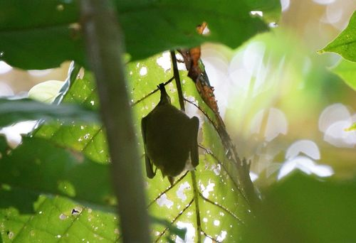 Murciélago | Visita al Parque Nacional de Manuel Antonio