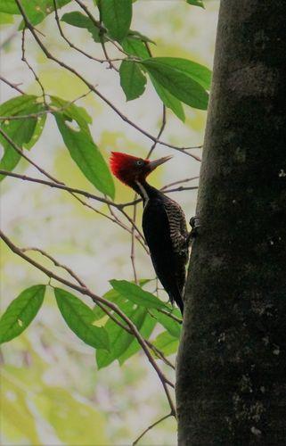 Pájaro carpintero | Parque Nacional de Manuel Antonio