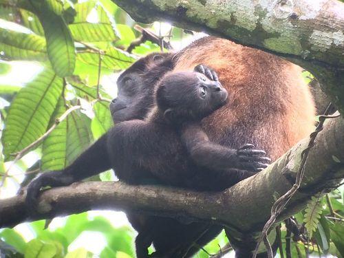 Mono aullador | Parque Nacional de Manuel Antonio