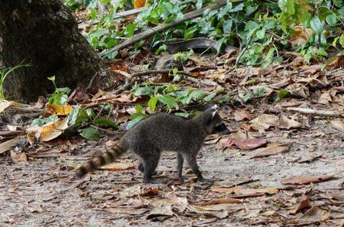 Mapache | Visita al Parque Nacional de Manuel Antonio
