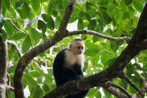 Mono cara blanca | Visita al Parque Nacional de Manuel Antonio