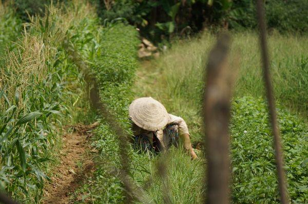 Mujer trabajando en el campo - Cam Kim, Hoi An