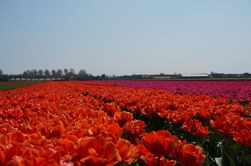 Tulips fields - The Netherlands