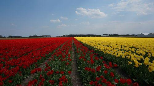 Tulips fields, Campos de Tulipanes - Ruta en bici