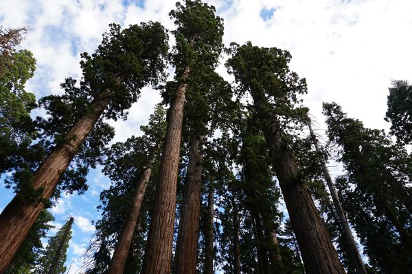 Calaveras Big Trees | Dónde ver Secuoyas en California