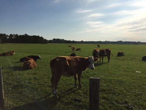 Cows - Netherlands