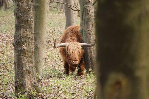 Hairy cow -National Park Zuid-Kennemerland