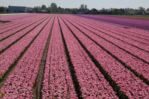 Campo de Tulipanes | Que hacer en Amsterdam